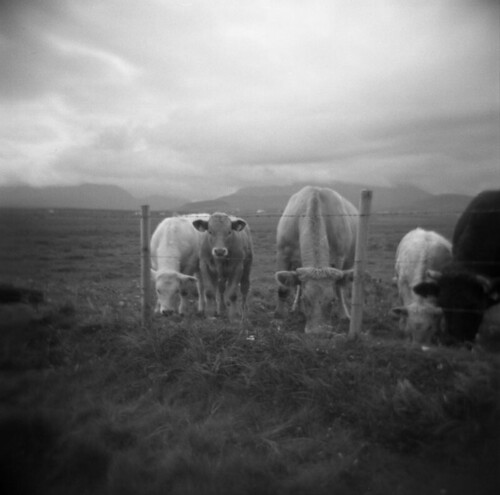 Irish cows by mcshan