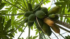 Pawpaw (Carica papaya)