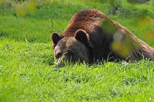 Braunbär im Tierpark CERZA bei Lisieux in der Normandie