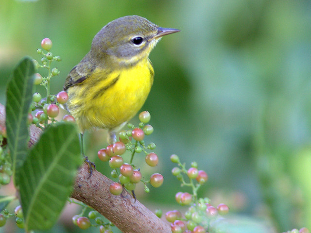 Prairie Warbler with berries 20111102