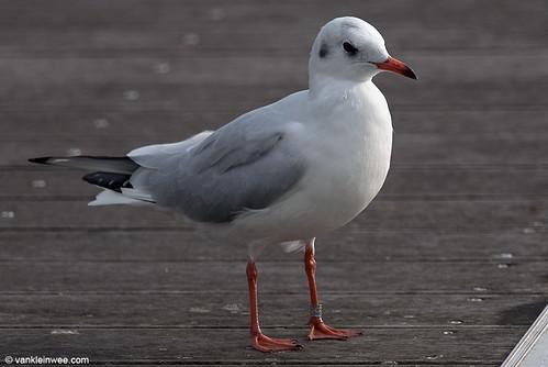 Black-headed Gull, 3cy, M[Lithuania HA08.566]