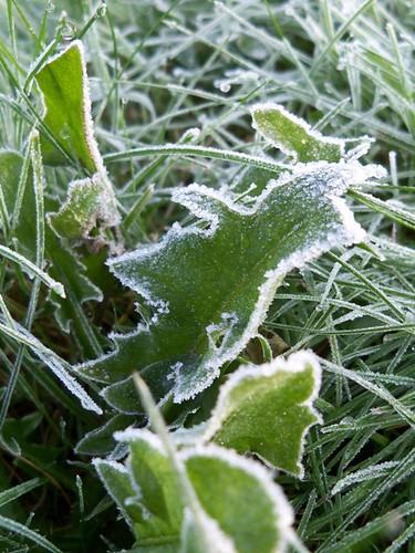 frosty dandilion