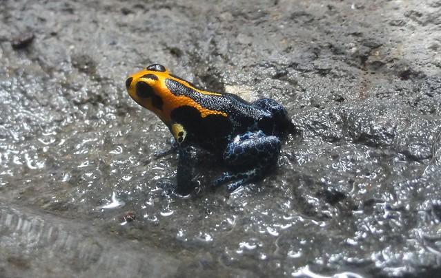 mimic frog