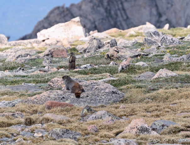 Pair of Marmots
