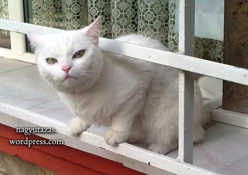 Édes, de veszélyes török angóra macska