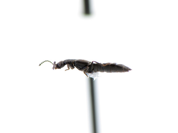 Staphylinidae-Atheta sp.