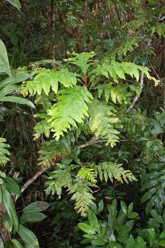 Musgravea heterophylla