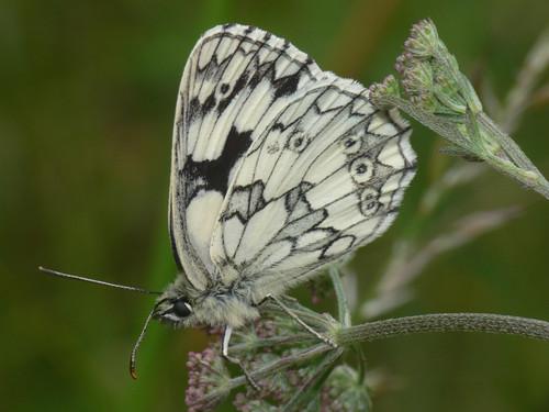 Marbled White (Melanargia galathea), m.