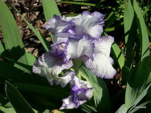 Bearded Iris - dwarf