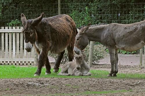 Poitou- und Contentin-Esel im Parc zoologique de Champrepus
