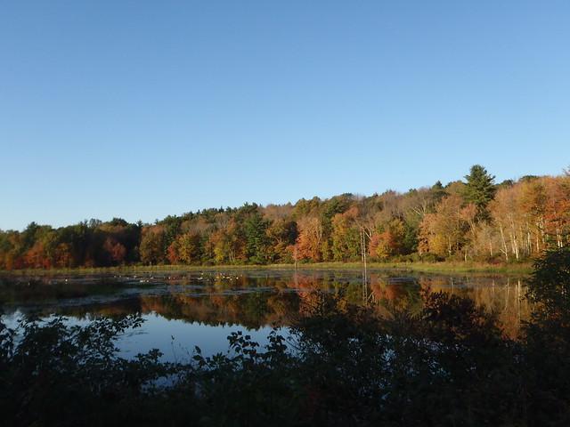 Canada Geese on a pond near Killingly, CT