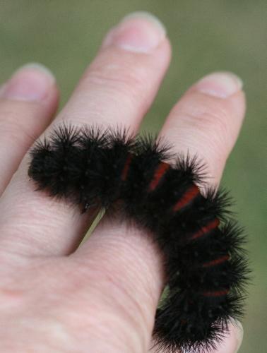 8146 - Hypercompe scribonia - Giant Leopard Moth caterpillar