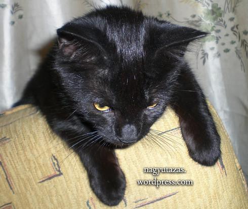 Gyönyörű, éjfekete kölyök Bombay macska