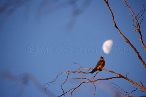 Moonlighting - I Bird of Prey