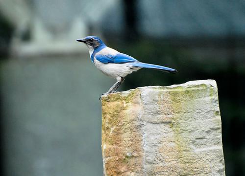 Scrub Bluejay on Stone Post