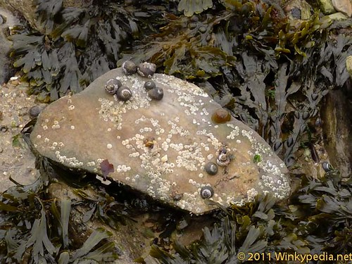 Winkles on rock
