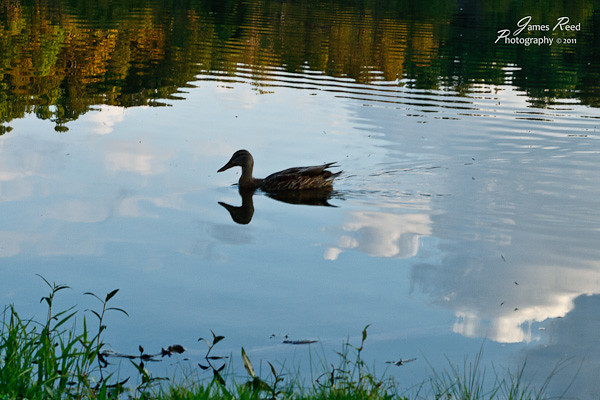 A lone duck swims through the clouds.