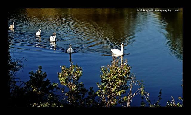 #289/365 Swan