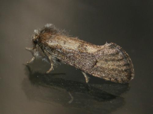 05-0367 - Acrolophus morus - Dark Grass-tubeworm