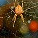 Spindelfärger