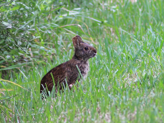 Marsh Rabbit 20111016