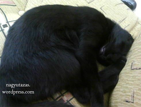 Alvó Bombay macska, avagy a kis Gömböc
