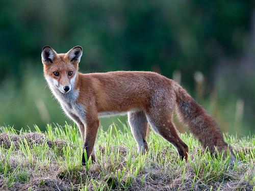 Red Fox at dawn_2
