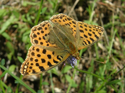 Silver-washed fritillary?