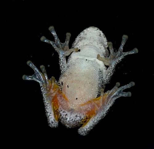 frog tummy