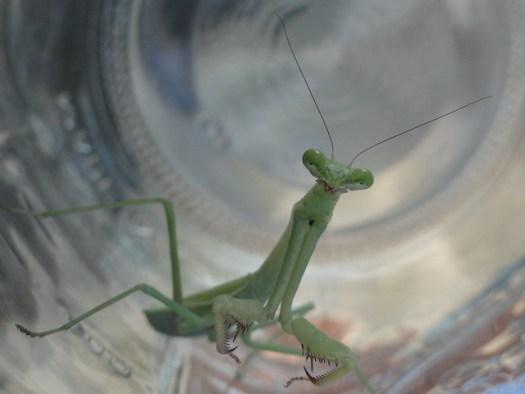 Praying Mantis in Mason Jar