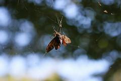 新治市民の森のアブラゼミ(Cicada, Niiharu Community Woods)
