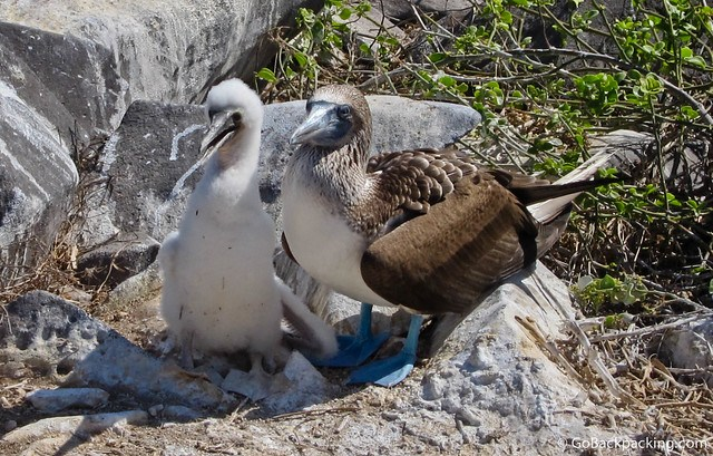 Adolescent Blue Footed Boobie