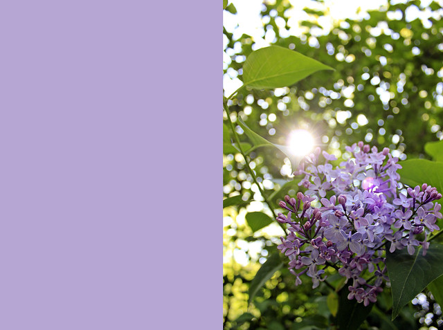 first lilac