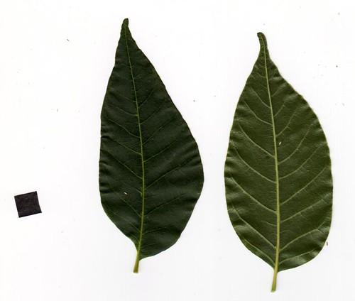 Toona ciliata wp50-1