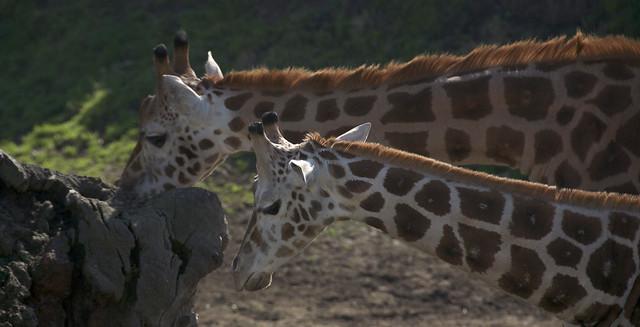 Werribee Giraffe 02