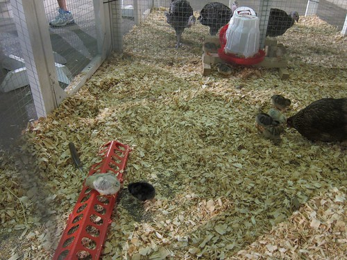 Babby Chickens