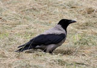 Hooded Crow (Corvus corone cornix) by Mike at Sea