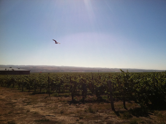 Vineyard 2011 Peregrine flying.jpg