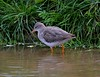 Redshank by Alan.Edmondson