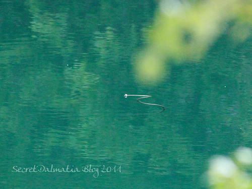 Very shy water snake