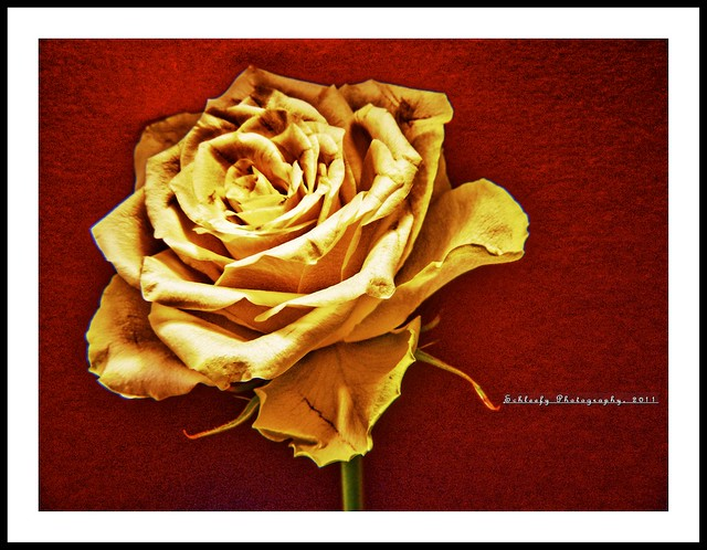 #249/365 Rose