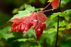Changing Leaf