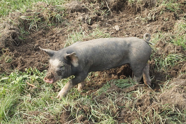 Piglet on the Pasture at Stone Barns with Mud on its Snout