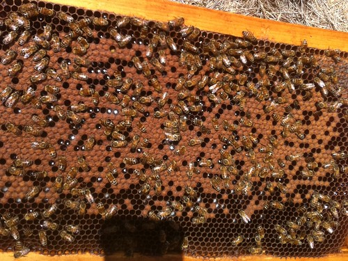 Frame of brood Aug 2011