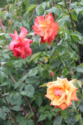 20110805_IMG_1502_bronze-roses