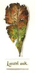 Laurel oak leaf by Elizabeth Smith