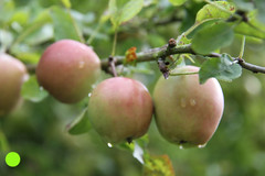 APPLES AND RAIND DROPS