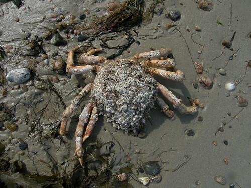 Dead Spider Crab