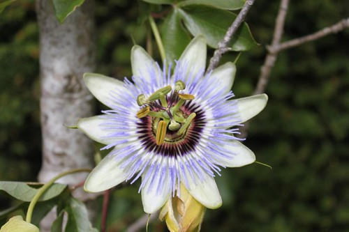 20110805_IMG_1487_passion-flower