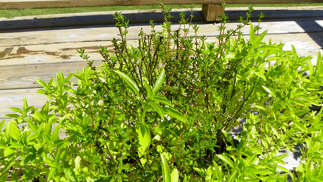 Ancient Thyme and Spicy Globe Basil